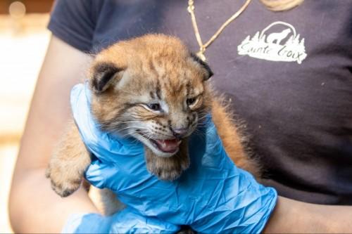 Chaton Lynx